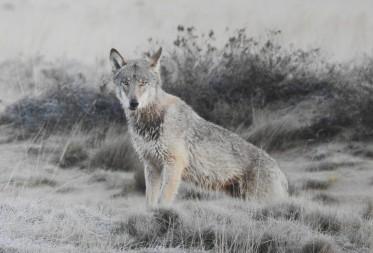 DNA analyses basis voor identificatie wolf en wolf dieet in Bosland